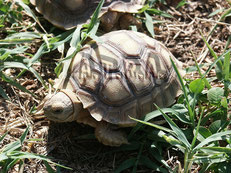 centrochelys sulcata young