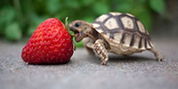 Alimentation Tortues Terrestres